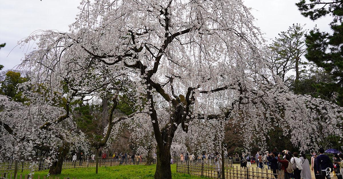 Kyoto Gyoen National Garden, Sakura 2021